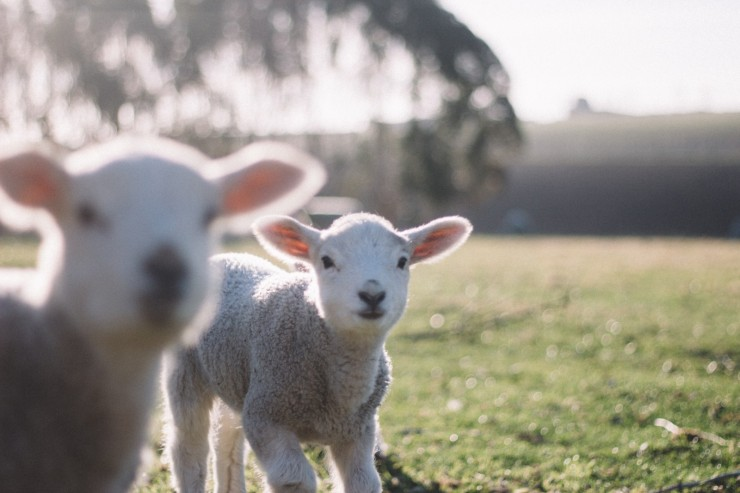 lamb-sheep-livestock